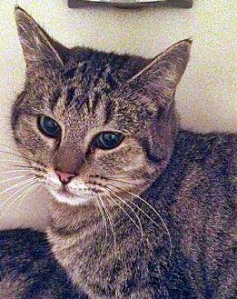 Domestic Shorthair Cat for adoption in Santa Fe, New Mexico - Faith 2