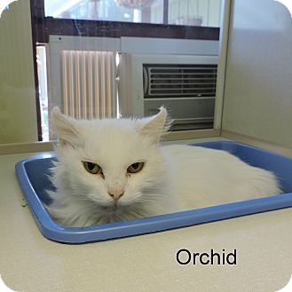 Domestic Longhair Cat for adoption in Slidell, Louisiana - Orchid