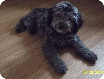 Poodle (Miniature) Puppy for adoption in Cool Ridge, West Virginia - Rory
