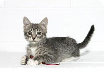 Domestic Shorthair Kitten for adoption in Lufkin, Texas - Mojo