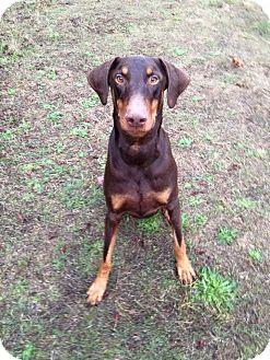 Doberman Pinscher Dog for adoption in Salem, Oregon - Red