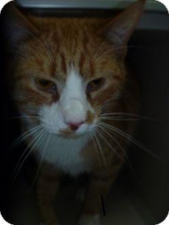 Domestic Shorthair Cat for adoption in Hamburg, New York - Tito
