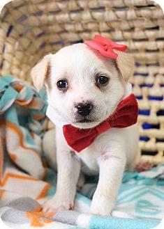 Border Collie/Pomeranian Mix Puppy for adoption in Montclair, California - Elsa