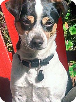 Rat Terrier/Jack Russell Terrier Mix Dog for adoption in San Francisco, California - Jake