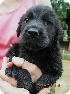 Golden Retriever/Rottweiler Mix Puppy for adoption in Rutherfordton, North Carolina - Bree
