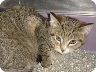 Domestic Shorthair Kitten for adoption in Island Heights, New Jersey - Carmen