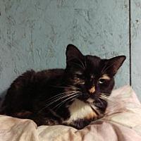 Domestic Shorthair Cat for adoption in Brainardsville, New York - Pumpernickle