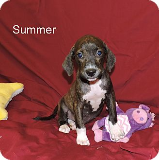 Catahoula Leopard Dog/Dachshund Mix Puppy for adoption in Slidell, Louisiana - Summer