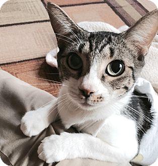 Domestic Shorthair Cat for adoption in Houston, Texas - Effie