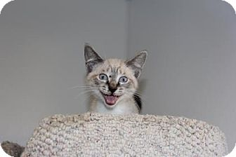 Siamese Kitten for adoption in Greensboro, North Carolina - Mr. Spunk