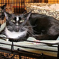 Domestic Shorthair Cat for adoption in Rochester, Minnesota - Fergie