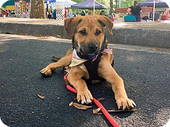 Labrador Retriever/Shepherd (Unknown Type) Mix Puppy for adoption in Alpharetta, Georgia - Aidan