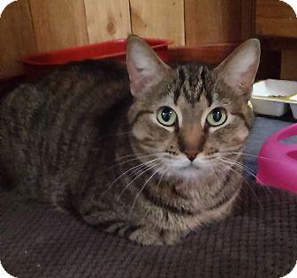 Domestic Shorthair Cat for adoption in Witter, Arkansas - Macey