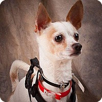 Adopt A Pet :: Little Man - Ashville, OH