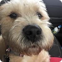 Adopt A Pet :: Ginger - Morganville, NJ