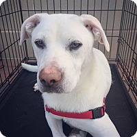 Adopt A Pet :: Bentley - Manassas, VA