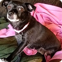 Toy Fox Terrier/Chihuahua Mix Dog for adoption in Phoenix, Arizona - Lady Godiva