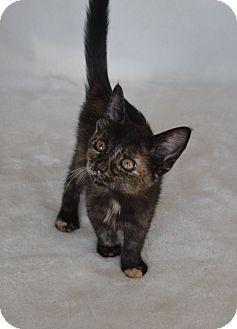 Domestic Shorthair Kitten for adoption in Aurora, Colorado - Elsa