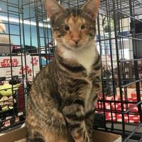 Domestic Shorthair/Domestic Shorthair Mix Cat for adoption in Baltimore, Maryland - Amy (AM Litter)