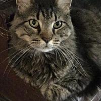Adopt A Pet :: Samson 17-0176 - Richardson, TX