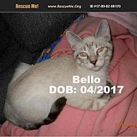 Adopt A Pet :: Bello - Chandler, AZ