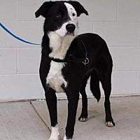 Adopt A Pet :: Claire (TIA) - Hagerstown, MD