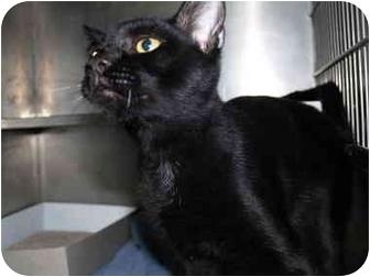 Domestic Shorthair Cat for adoption in El Cajon, California - Frankie