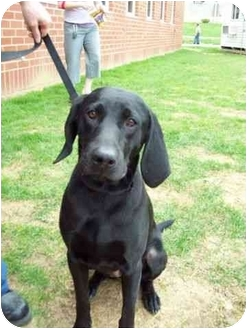 Labrador Retriever/Coonhound Mix Dog for adoption in Buffalo, New York - Lacey: Prison Dog