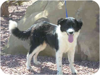 Border Collie/Collie Mix Dog for adoption in Broomfield, Colorado - BEBE