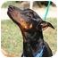 Photo 2 - Doberman Pinscher Dog for adoption in New Orleans, Louisiana - Lucky II