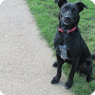 Labrador Retriever Mix Dog for adoption in Williston, Vermont - Shadow