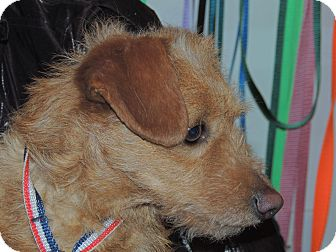Wirehaired Fox Terrier/Dachshund Mix Dog for adoption in Hagerstown, Maryland - Scotty