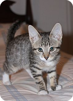 Domestic Shorthair Kitten for adoption in East Hanover, New Jersey - Abby