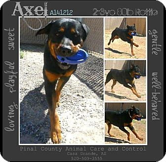 Rottweiler Dog for adoption in Gilbert, Arizona - General