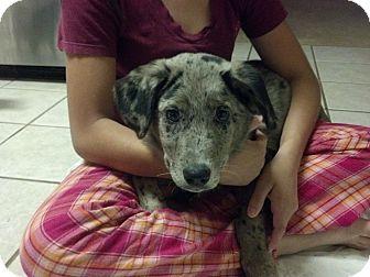 Australian Shepherd Mix Puppy for adoption in Cumming, Georgia - Cody