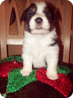 Shepherd (Unknown Type)/Shih Tzu Mix Puppy for adoption in Oceanside, California - Squiggles