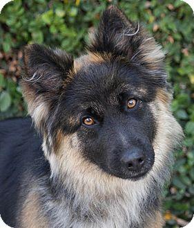 German Shepherd Dog Mix Puppy for adoption in Los Angeles, California - Bella von Betz