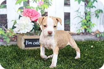 Staffordshire Bull Terrier Mix Puppy for adoption in Auburn, California - Leila