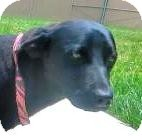 Labrador Retriever/Australian Terrier Mix Dog for adoption in Lincolnton, North Carolina - Cash-euth date Aug 18