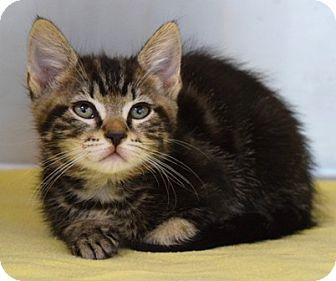 Domestic Shorthair Kitten for adoption in Dublin, California - Dominic