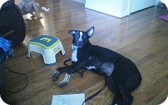 Labrador Retriever/Australian Shepherd Mix Puppy for adoption in Westminster, Maryland - Oreo