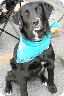 Flat-Coated Retriever Mix Dog for adoption in Knoxville, Tennessee - Feathers