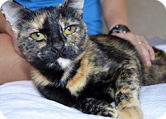 Domestic Shorthair Cat for adoption in Cincinnati, Ohio - Dory