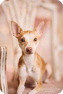 Italian Greyhound/Toy Fox Terrier Mix Dog for adoption in Portland, Oregon - Dilly