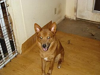 Rhodesian Ridgeback/Chow Chow Mix Dog for adoption in Tonopah, Arizona - sedona