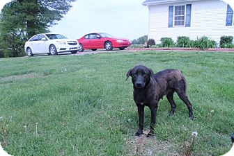 Labrador Retriever Mix Dog for adoption in Lewisville, Indiana - Sophie
