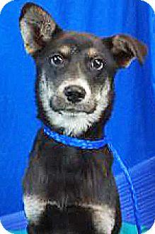 Shepherd (Unknown Type) Mix Puppy for adoption in Spokane, Washington - Quincy