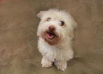 Westie, West Highland White Terrier Mix Dog for adoption in Morganville, New Jersey - Bella (Westie Mix)