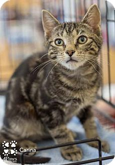 Domestic Shorthair Kitten for adoption in Merrifield, Virginia - Carina