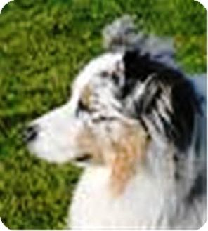 Australian Shepherd Puppy for adoption in Oswego, Illinois - I'M ADOPTED Nevaeh Quist